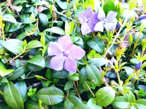 植物ファイル(春):ヒメツルニチニチソウ