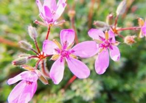 植物ファイル(春):オランダフウロ
