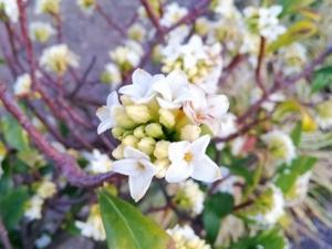 植物ファイル(春):ジンチョウゲ