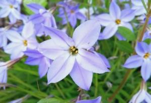 植物ファイル(春):ハナニラ