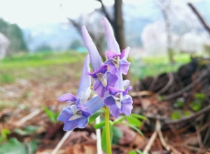 植物ファイル(春):ヤマエンゴサク