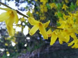 植物ファイル(春):シナレンギョウ