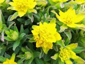 植物ファイル(春):ユーフォルビア・ポリクロマ