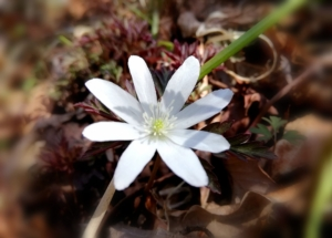 植物ファイル(春):キクザキイチゲ
