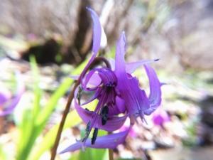 植物ファイル(春):カタクリ