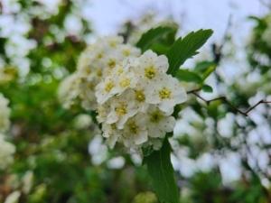植物ファイル(春):コデマリ