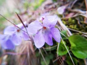 植物ファイル(春):タチツボスミレ