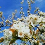 植物ファイル(春):ナシ