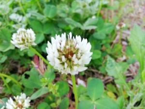 植物ファイル(春):シロツメクサ