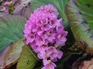 植物ファイル(春):ヒマラヤユキノシタ