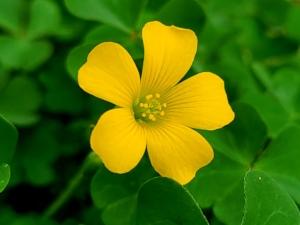 植物ファイル(春):カタバミ