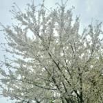 植物ファイル(春):オオシマザクラ