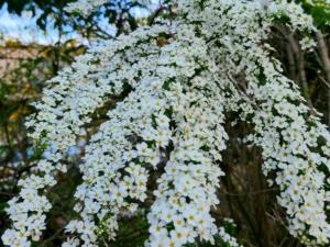 植物ファイル(春):ユキヤナギ