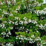 植物ファイル(春):ドウダンツツジ