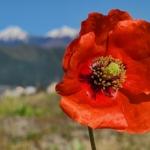植物ファイル(春):ヒナゲシ