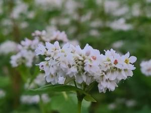 植物ファイル(夏):ソバ
